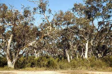 C pulchellus vincentia habitat