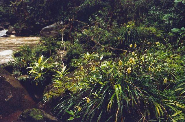 Phrag. pearcei habitat