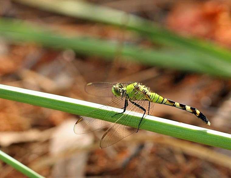erytmenis simpliciollis green clearwing