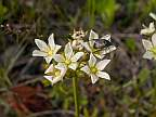 dionaea muscipula flower