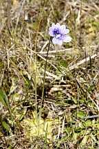 pinguicula reticulata