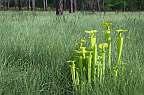 sarracenia flava savanna