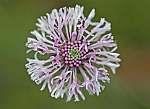 marshallia graminiifolia