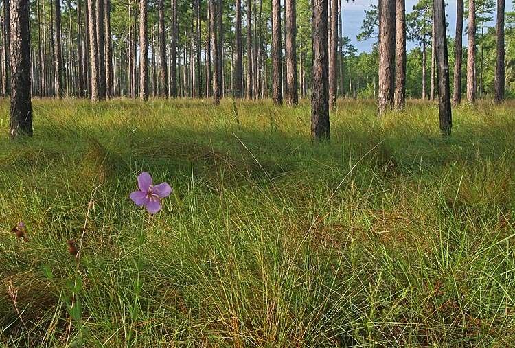 pine savanna