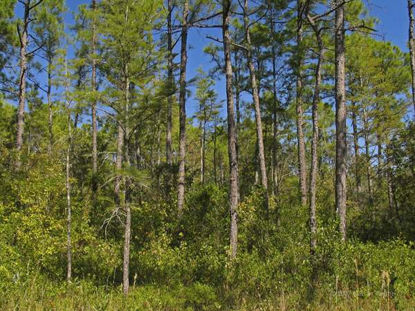 pocosin savanna ecotone