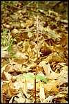 Listera australis