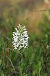 platanthera blephariglottis plant