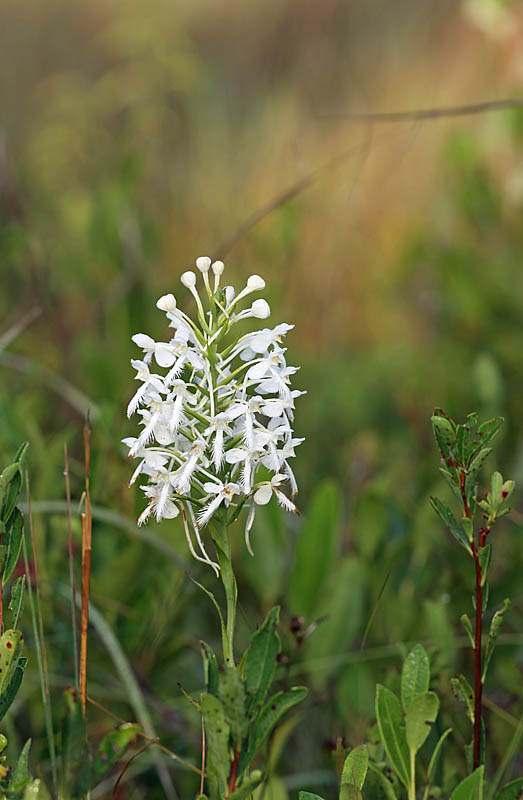 platantherablephariglottisplant523_skip.jpg