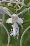 platanthera conspicua