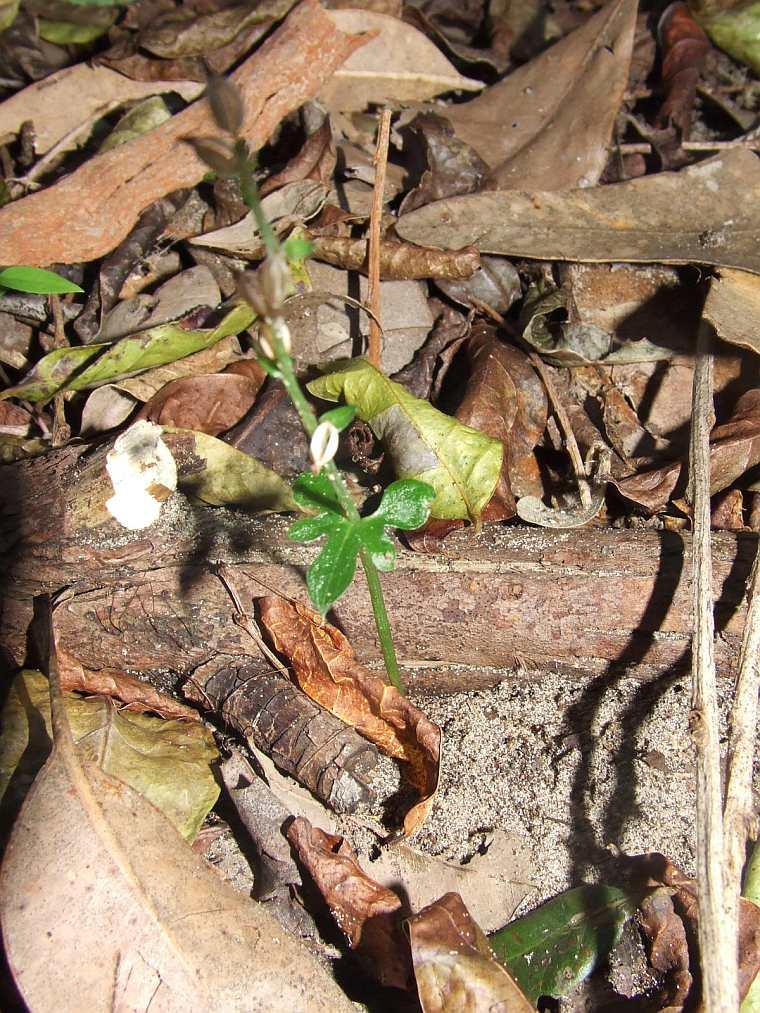 acianthella amplexicaulis