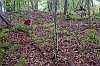 acianthella amplexicaulis habitat