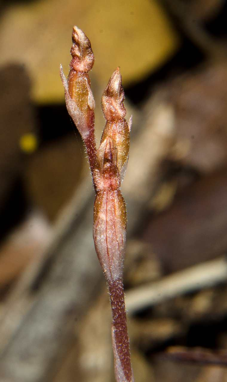 Danhatchia australis