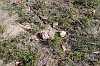 helipad habitat speculantha parviflora alba
