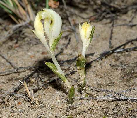 speculantha parviflora alba helipad