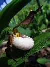 Cyp parviflorum seedlings