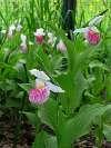Cypripedium reginae nursery bed