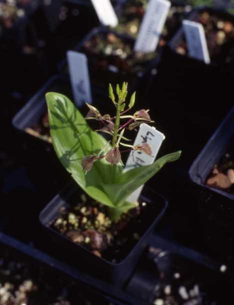 Liparis lillifolia
