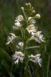 Platanthera leucophaea Rock County