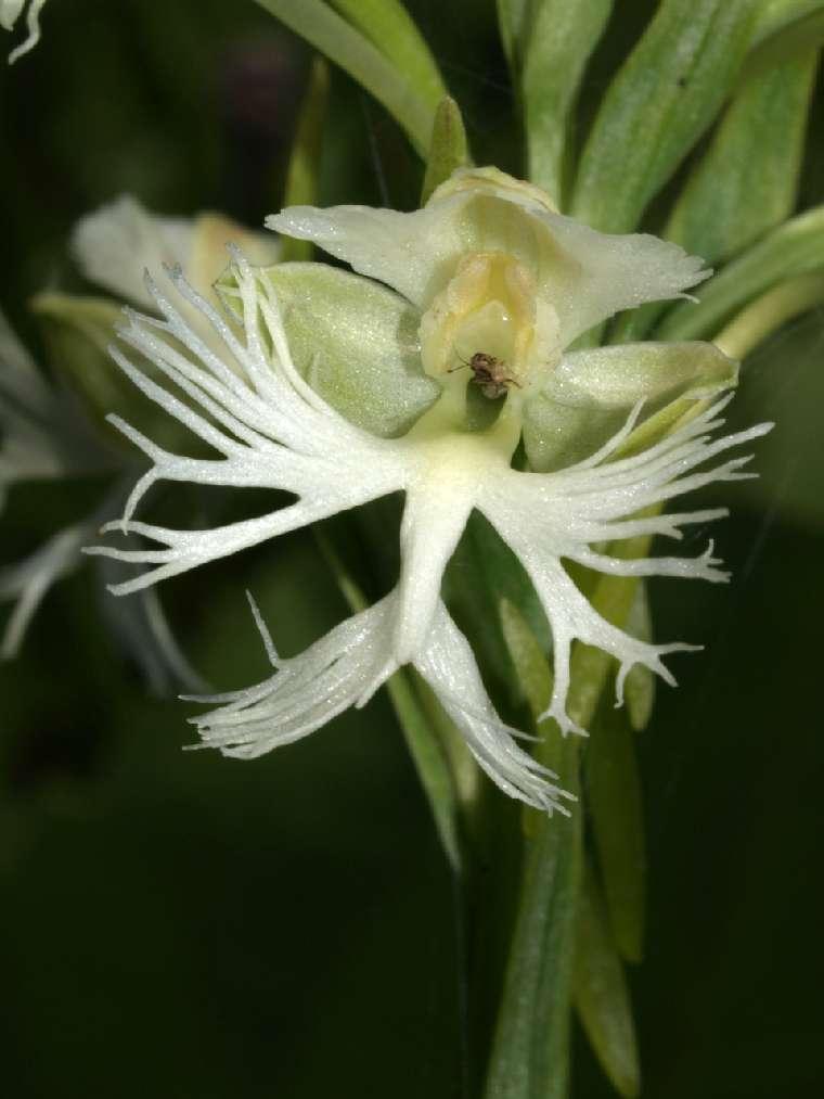 P leucophaea, Winnebago Co, WI