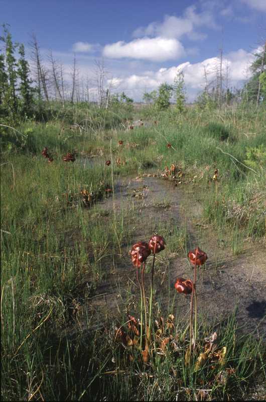 gull lake fen pitcher plants