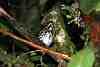 grallaricula ochraceifrons