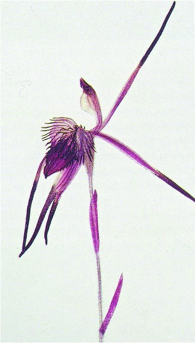 Caladenia brachyscapa