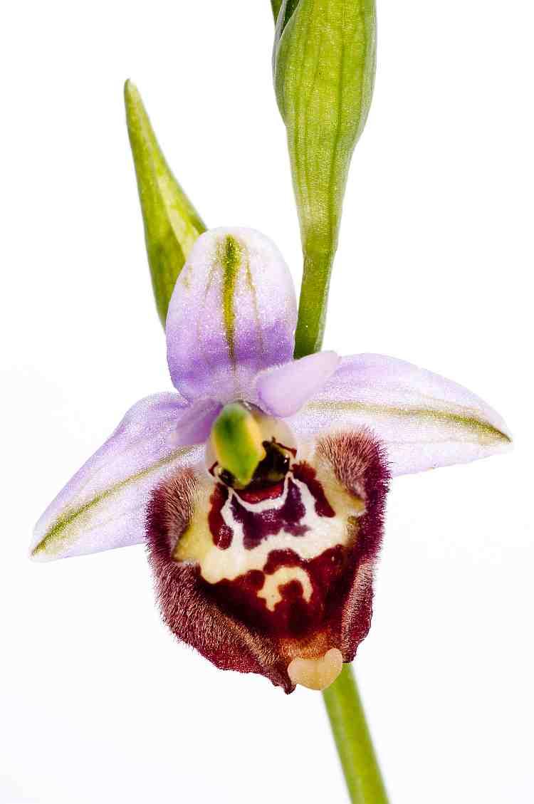 ophryscandica750davies.jpg