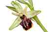 ophrys herae