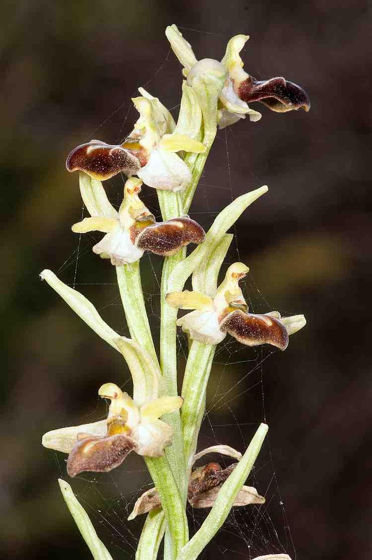 ophrys sphegodes ssp cretensis