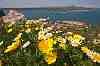 chrysanthemum coronarium