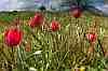 tulipa doerfleri