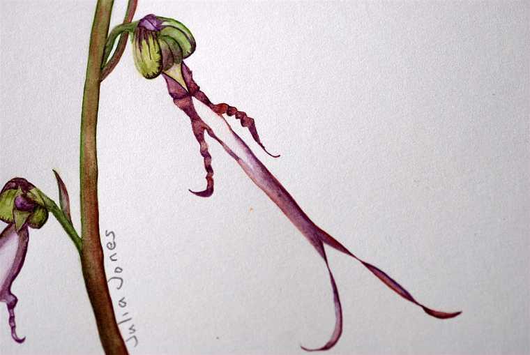 Himantoglossum samariense