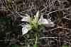 orchispapillionaceasspheroica100julia.jpg