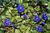 anagalis arvensis var caerulea