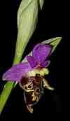ophrys heldreichii