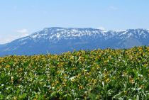 FIELDS OF GOLD: Beneath a Mount Emily still speckled with unseasonable June snows, GROWISER's south slope bristles with blooming mule-ears. - Photos/SARAH WEST