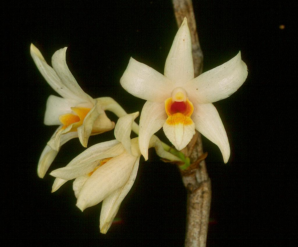 D vogelsangii flowers