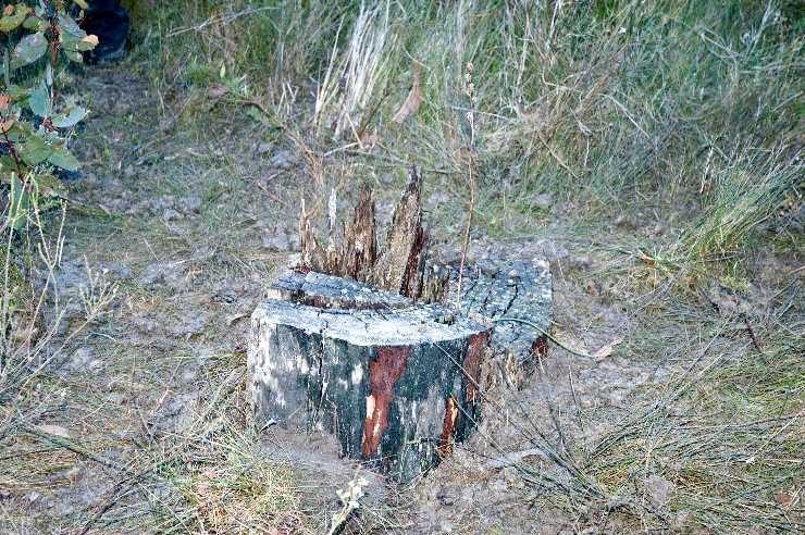 Stump with orchid in translocated site
