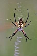 argiope aurantia writing spider big
