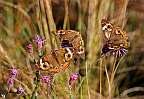 buckeye trio butterfly