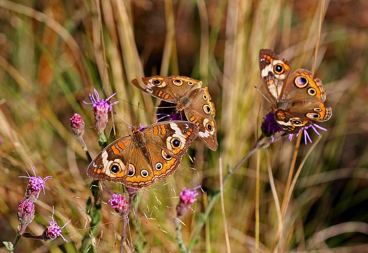 buckeye butterfly trio