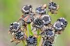 dionaea muscipula seed