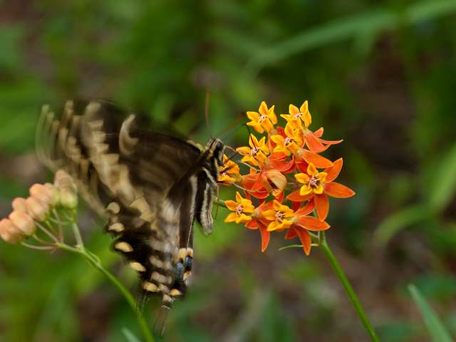 Asclepias lanceolata Lance Leaf Milkweed and Papilio glaucus Eastern Tiger Swallow Female Butter fly
