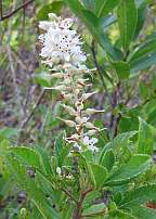 Clethra ainifolia Sweetpepper Bush