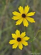 Coreopsis linifolia