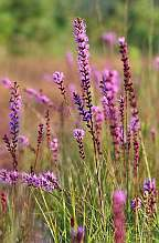 Liatris spicata Blazingstar plants