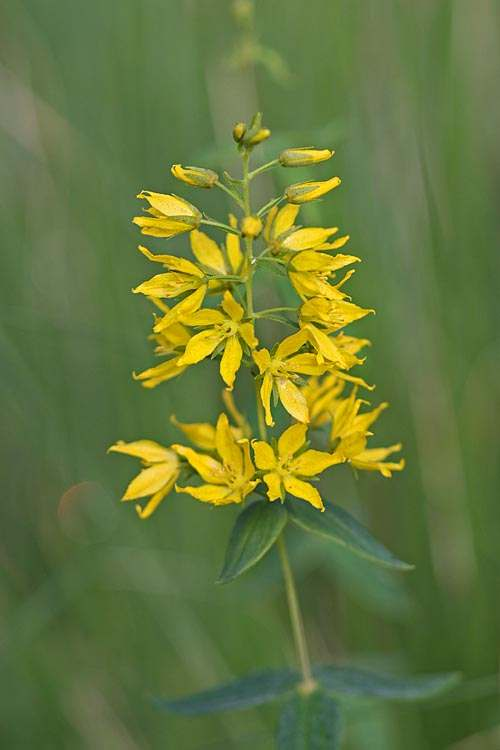 Lysimachia asperulaefolia