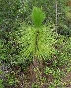 Pinus palustris Longleaf Pine