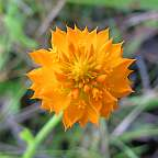 Polygala lutea Orange Milkwort