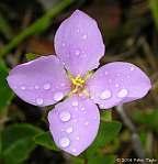 Rhexia petiolata closeup